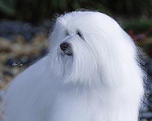Breeders Directory – The United States Coton de Tulear Club